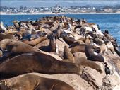 Monterey - Californian Sea Lions: by dannygoesdiving, Views[216]