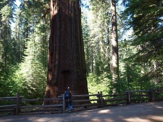 Yosemite - Sequoia tree