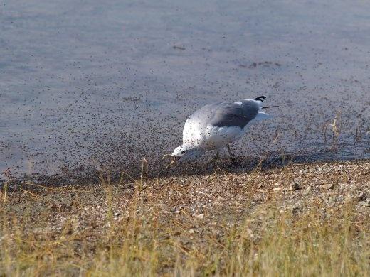 Mono Lake - chasing lunch