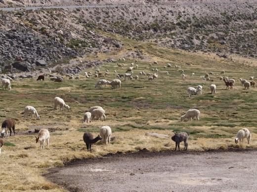 National reserve - Llamas & alpacas