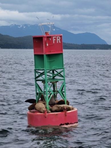 Stella Sea lions chillin'
