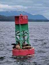 Stella Sea lions chillin': by dannygoesdiving, Views[218]