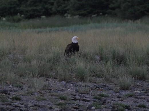 Bald Eagle standing guard