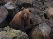 Bears !: by dannygoesdiving, Views[171]