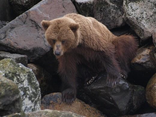 Bears !