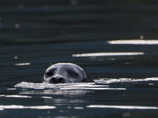 Harbour Seal