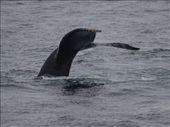 Humpbacks Galore - feeding & Diving: by dannygoesdiving, Views[173]