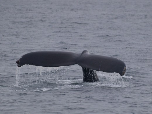 Humpbacks Galore - feeding & Diving
