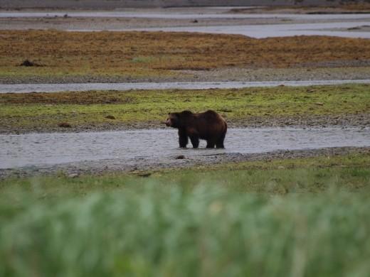 Bears @ Pack Creek