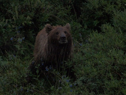 Denali National Park - Grizzly Bear
