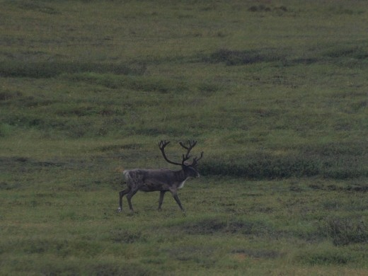 Denali National Park - Caribou