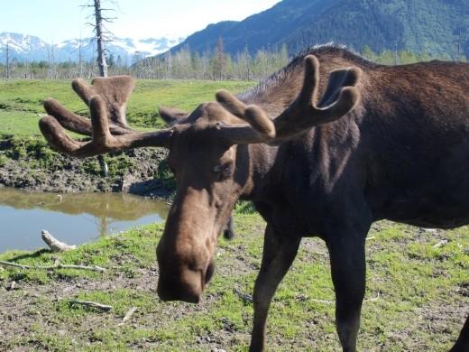 Alaska Wildlife Conservation Centre - Moose