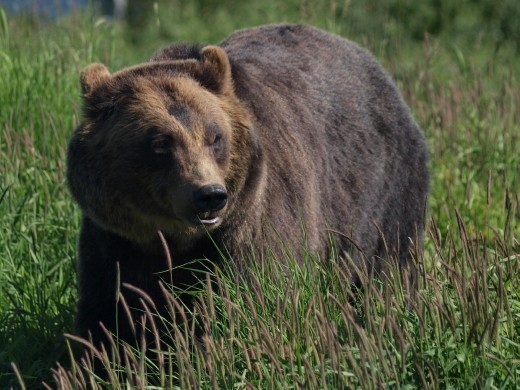 Alaska Wildlife Conservation Centre - Grizzly Bear