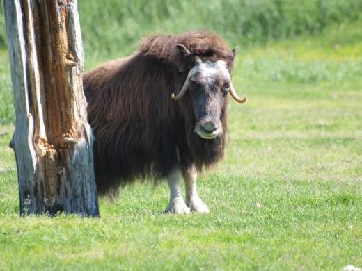 Alaska Wildlife Conservation Centre - Musk Oxen