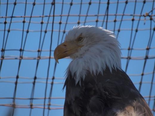 Alaska Wildlife Conservation Centre - Bald Eagle