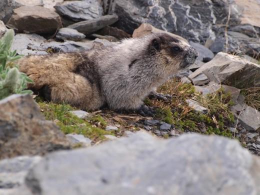 Harding Ice Field Trail - Hoary Marmot