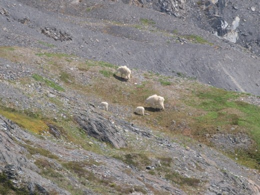 Harding Ice Field Trail - mountain sheep