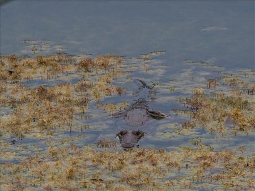 Tikal - Fresh water crocodile