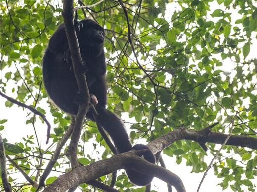 Tikal - Howler Monkey
