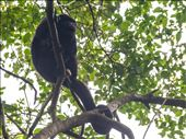 Tikal - Howler Monkey: by dannygoesdiving, Views[185]
