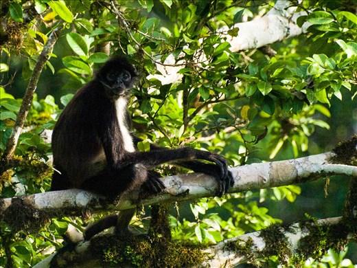 Tikal - Spider Monkey