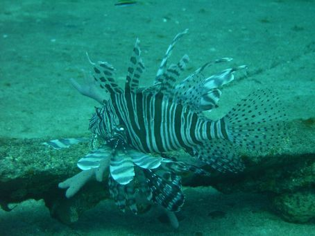 Pacific Lion Fish