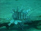 Pacific Lion Fish: by dannygoesdiving, Views[540]