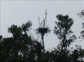 An orangutan nest: by daveandjen, Views[566]