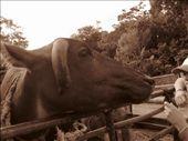 The beautiful water buffalo!: by daveandjen, Views[389]