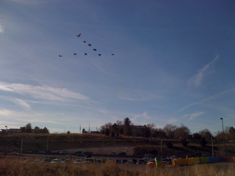 Geese on their way to McD's for a big mac!