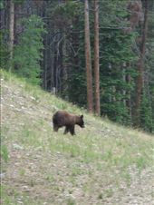 Wild brown bear encounter, bit spooky. Far enough away to get our bikes down hill; literally just walked out of the forest onto the track we were thinking of going up!: by davidsgibson, Views[123]