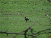 Another Southern Ground-Hornbill: by davidt, Views[117]