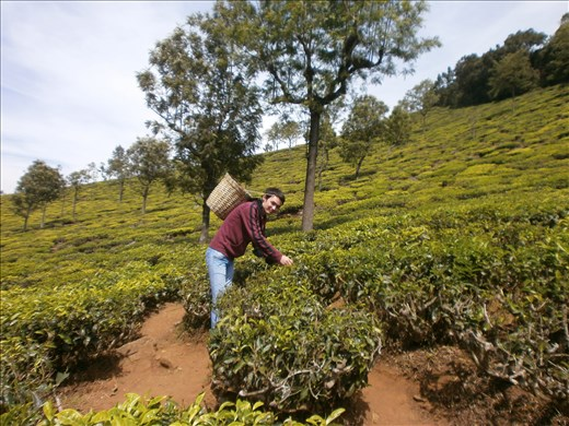 Tea Plantations. Ooty, Tamilnadu, India
