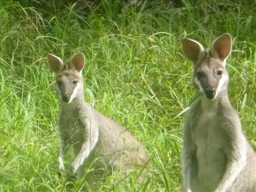 cute wallabies