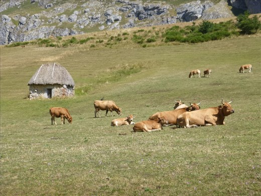 Traditional cowherd huts and cows