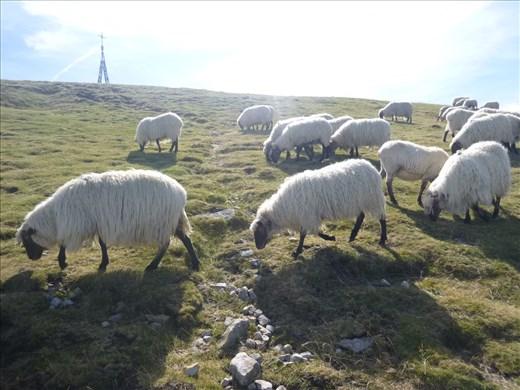 mega fluffy sheep
