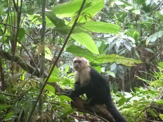 Capachin monkey at Antonio Manuel