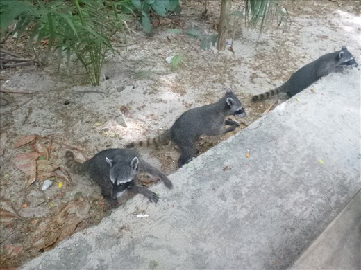 Very naughty racoons