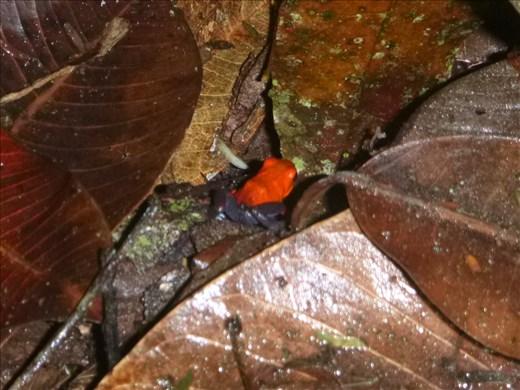 strawerry poison dart frog