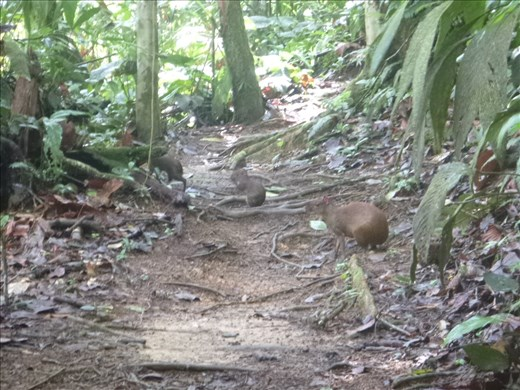 agouti and baby