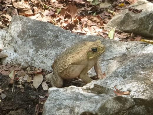 big fat toad