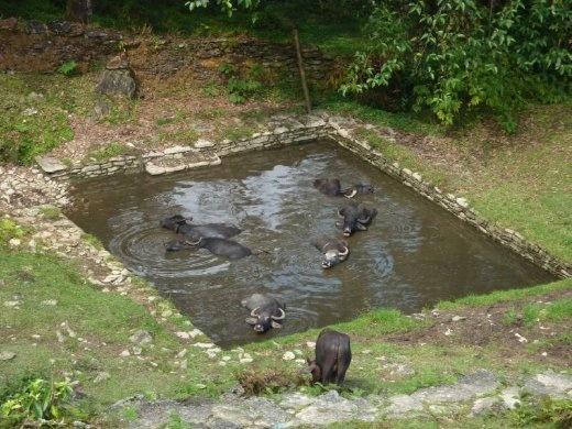 Water Buffalo swimming pool
