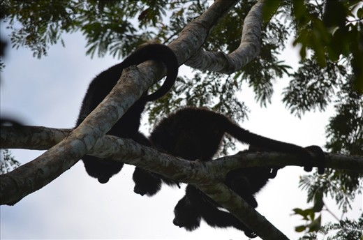 After searching through the rain forest early in the morning to find the source of ear piercing howls, I cam across three full grown Howler monkeys calling out their troop's territoy. Howler monkeys are very territorial animals; every morning bellowing out their howl to surrounding troop's to mark their territory.