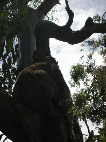 The Koala Conservation Centre.