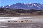 Vicuna on the Move: by deborre, Views[212]