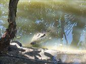 Croc!: by dhoffman, Views[144]