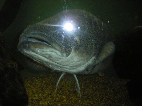 Murry Cod in Fisheries Dept