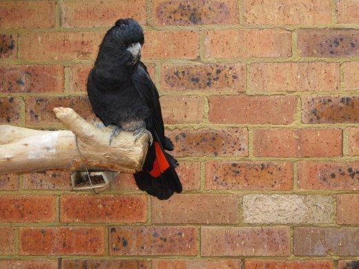 Black Cockato