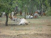 Brahma cattle: by dianne_peter, Views[88]