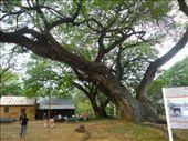 American Raintree: by dianne_peter, Views[78]